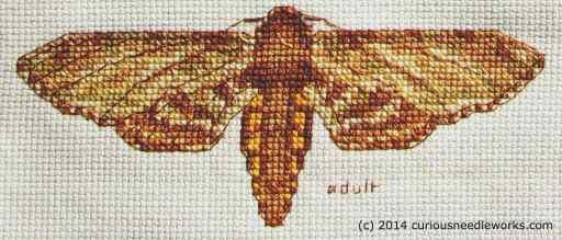Detail of adult instar, Manduca sexta