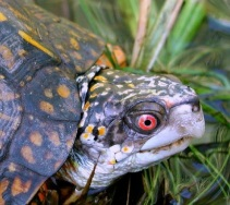 Male box turtle