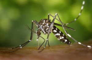 Aedes albopictus, Asian Tiger Mosquito. © 2002 James Gathany (en.wikipedia.org)