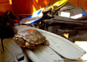 I'm sorry, Paul the Red-Eared Slider, you may not come to St. Lucia….