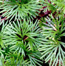 ground cedar detail