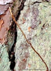 Itchy twig